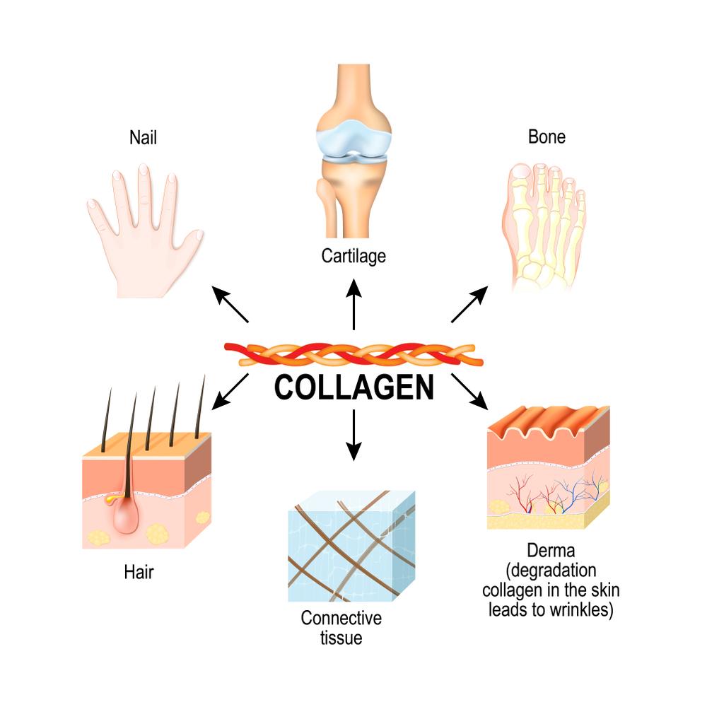 Collagen là một protein dạng sợi và chiếm khoảng 1/3 tổng số protein trong cơ thể